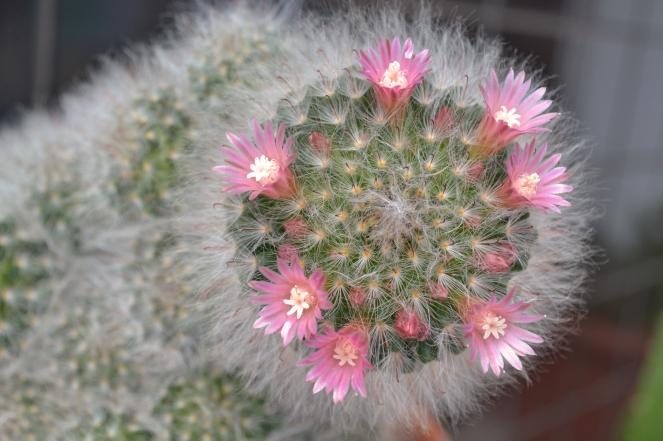 Cacto flores.jpg