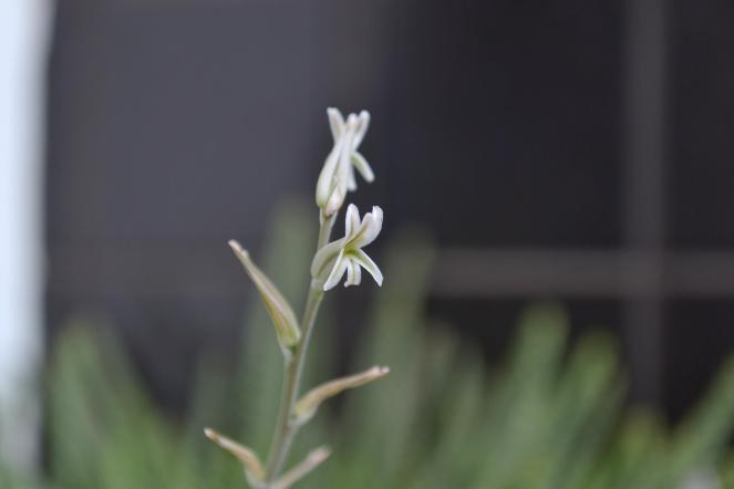 Flor Suculenta 2